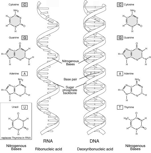 Illustration and comparison of of RNA and DNA molecules - click for larger version